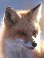 _foxes_sneer_1